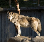 Lobo en el Zoo de Madrid 01 cropped.jpg