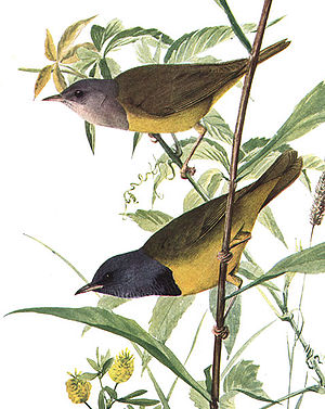 English: Mourning Warbler, Oporornis philadelp...