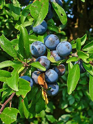Prunus spinosa, Rosaceae, Blackthorn, Sloe, fr...