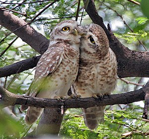 Spotted Owlet Athene brama at Keoladeo Nationa...