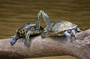 Turtles Costa Rica