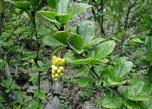 Dansk: Berberis vulgaris: Blomsterstand og løv...