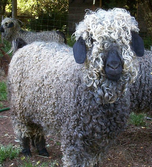 Colored Angora Goat