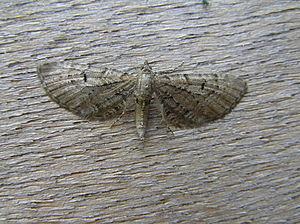 Eupithecia intricata (Goes, the Netherlands)