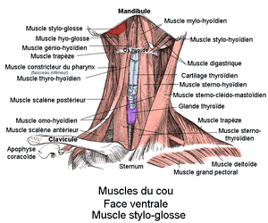 Muscle stylo-glosse. Vue antérieure
