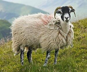 A swaledale ewe on the rolling fells of the La...