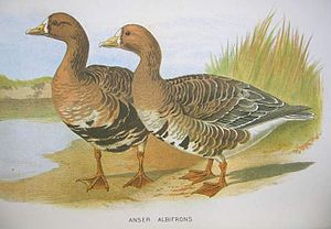 White-fronted Goose One of the illustrations t...