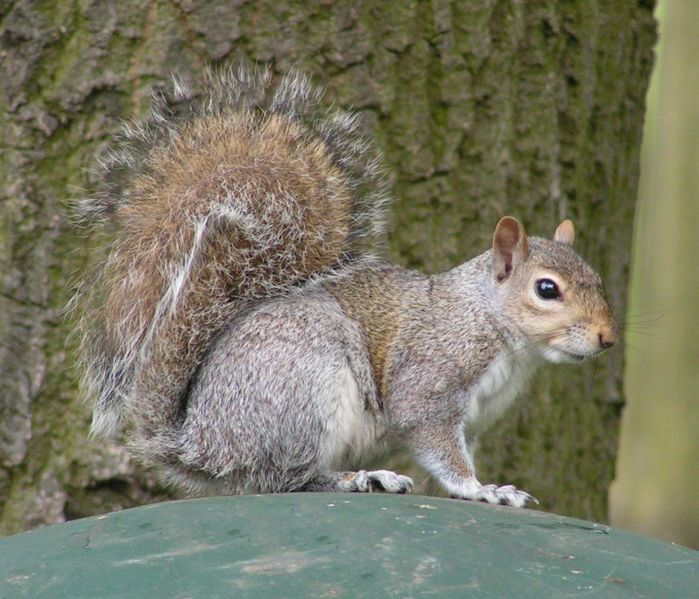 Файл:Eastern Gray Squirrel 800.jpg