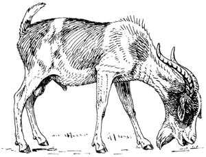 Line art drawing of a goat.