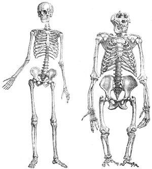 """""""Skeleton of human (1) and gorilla (2), u..."""