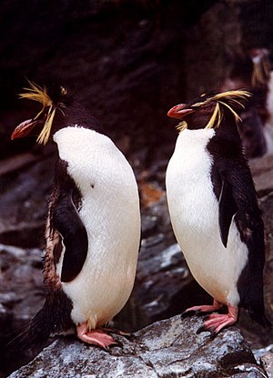 Rockhopper Penguins at Edinburgh Zoo