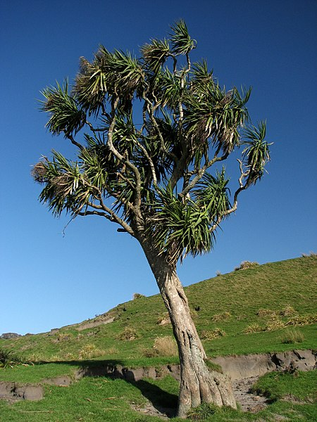 File:CabbageTreeKaihoka.jpg