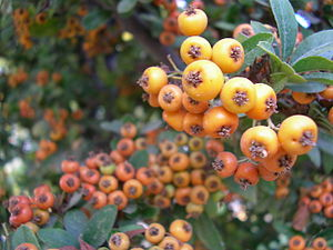 Cat-pyracantha berries