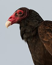 Turkey Vulture headshot Wiki