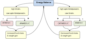 English: Hormonal energy balance