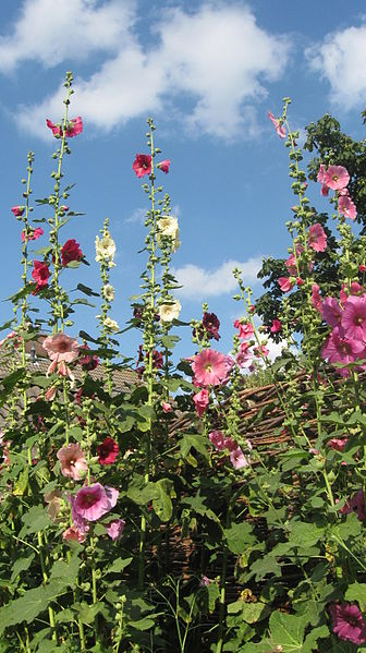 File:Garden hollyhocks.jpg