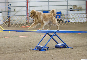 A Golden Retriever going over a teeter-totter ...