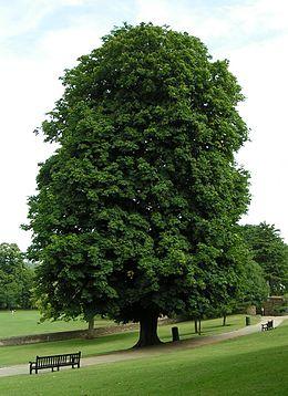 vadgesztenye fa
