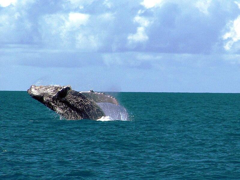 Baleia Jubarte - Abrolhos