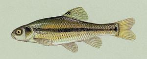 English: Illustration of Pimephales promelas, ...