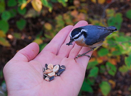 Red-breasted Nuthatch (Sitta canadensis) -feeding from hand