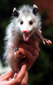 Virginia opossum  Wikipedia