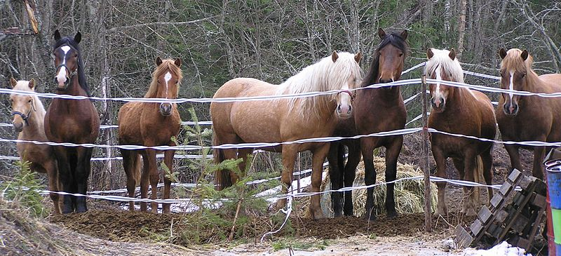Interesting finnhorses for color enthusiasts