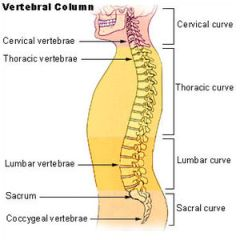 The lumbar region in regards to the rest of th...