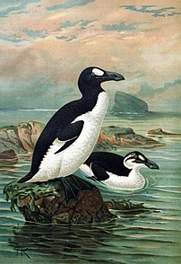 Great Auks (extinct)   by J.G. Keulemans