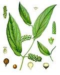 Piper cubeba - Köhler–s Medizinal-Pflanzen-244.jpg