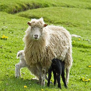 A ewe and her twins on the Faeroes.