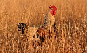 Rooster in grass.