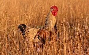 Rooster in grass. Français : Un coq dans les h...