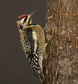 English: yellow-bellied sapsucker