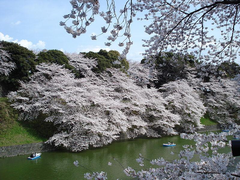 File:Chidorigafuchi sakura.JPG
