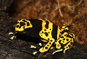 Yellow-Banded Poison Dart Frog, Yellow-Headed ...