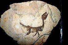 Scipionyx samniticusun bir yavru fosili. Fosil, yumuşak dokuların açık izlerini taşımaktadır.