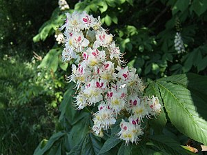 English: Chestnut flower These amazing inflore...