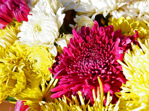 Chrysanthemums are only appropriate for funerals.