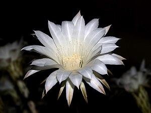 Nightblooming Cereus Cactus