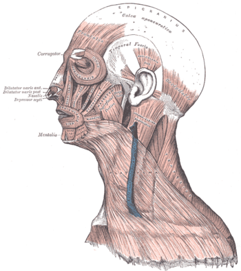 Muscles of the head, face, and neck.