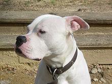 220px Scott type American Bulldog Girl Pitbull Dog Names