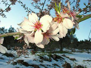 Almond is a species of Prunus belonging to the...