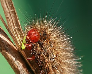 English: Spilosoma glatignyi caterpillar in su...