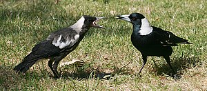 English: Two Australian Magpies (Cracticus tib...