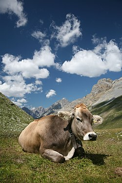 A Swiss Braunvieh cow wearing a cowbell