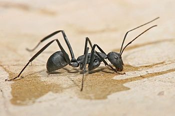 English: Carpenter ant, Camponotus sp.