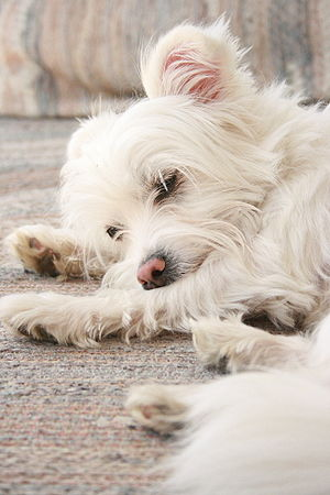 A white mixed-breed dog sleeping (probably a t...