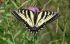 English: Canadian Tiger Swallowtail -- Spirit ...
