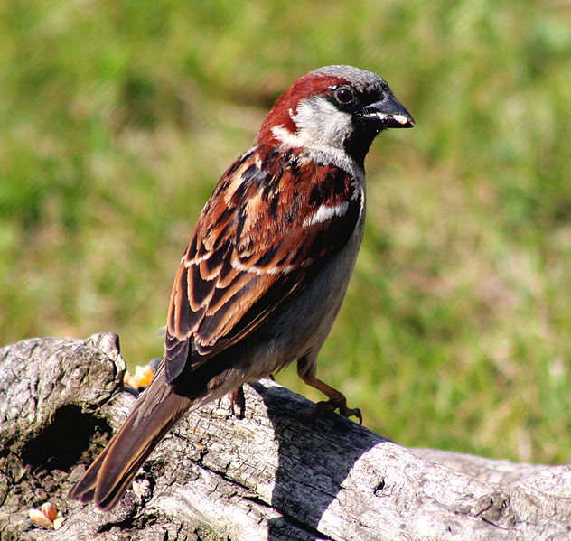 File:Passer domesticus -Scotland -male-8b.jpg